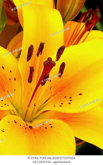 Tiger Lilly showing stamen,pistil, and pollen