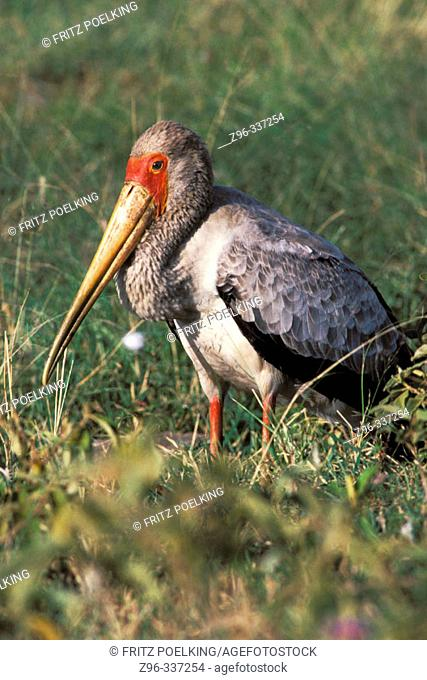 Yellow-billed Stork (Mycteria ibis). Masai Mara. Kenya