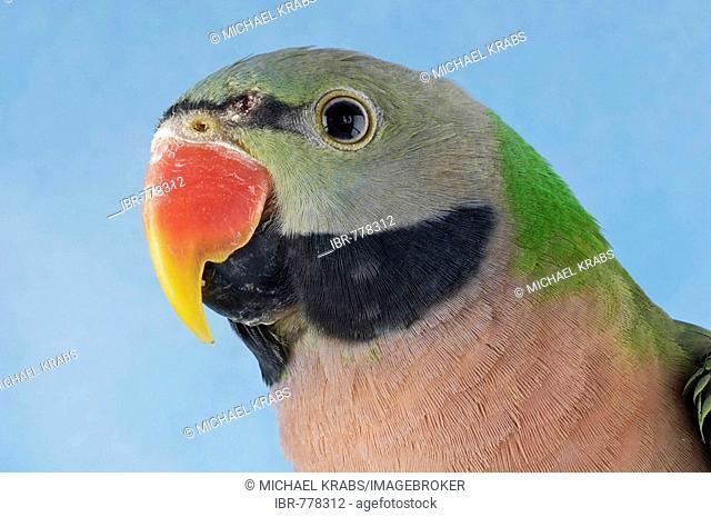 Parakeet moustache Stock Photos and Images | age fotostock