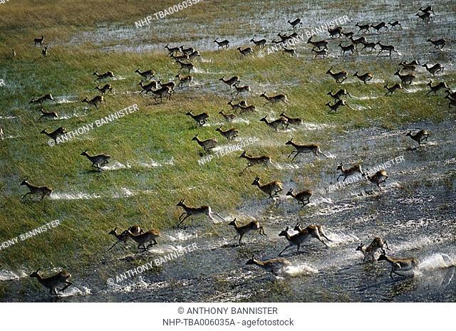RED LECHWE Kobus leche group, aerial view May Floodplain of Okavango Delta, Botswana