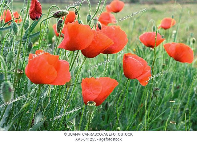 Group of poppies, Papaver rhoeas Valencia, Spain
