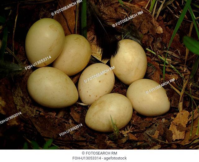 Montpelier, VT, Vermont, bird nest, eggs