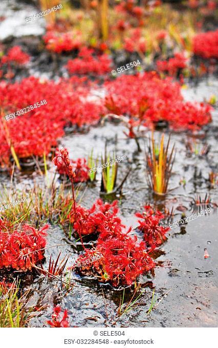 A Very Rare Endemic Plant On The Roraima - Venezuela