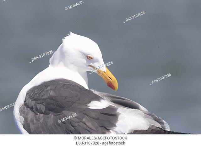 Central America, Mexico, Baja California Sur, Gulf of California (also known as the Sea of Cortez or Sea of Cortés, Loreto, Loreto Bay National Marine Park