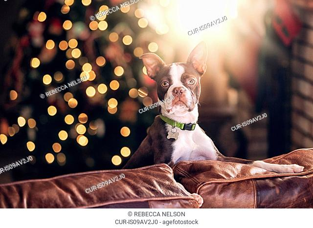 Portrait of boston terrier on sofa in front of christmas tree