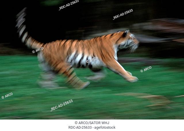 Siberian Tiger, Panthera tigris altaica, side
