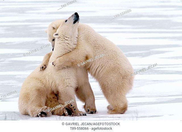 Canada, Manitoba, Churchill Polar bear mother with cub (Ursus mritimus)