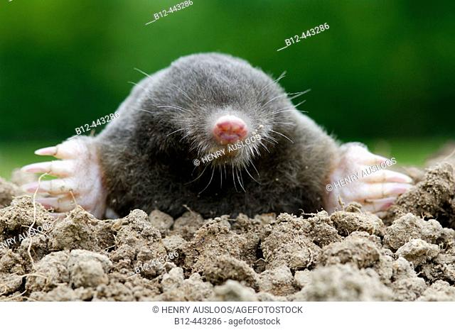 European or Common Mole, portrait (Talpa europaea)