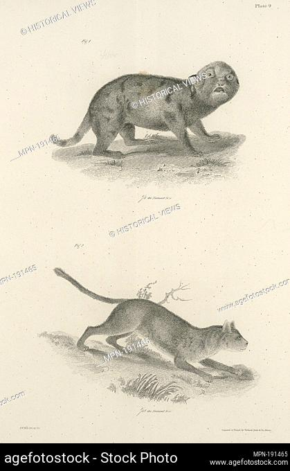 1. Whelp of the Northern Panther (Felis concolor). 2. Adul tof the same. De Kay, James E. (James Ellsworth), 1792-1851 (Author)