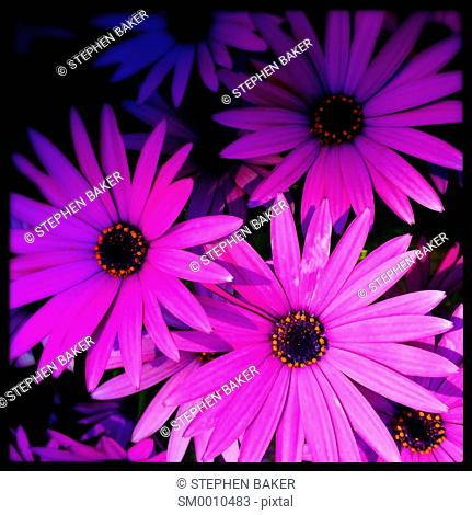 Osteospermum purple daisy flower heads