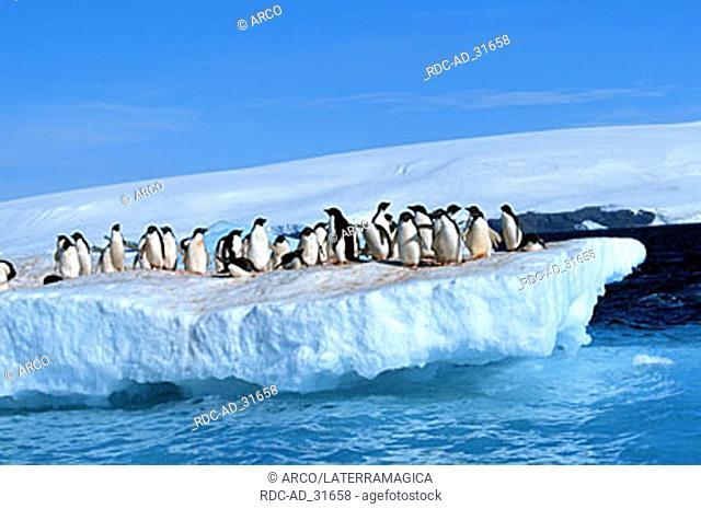 Adelie Penguins Paulet Island Antarctica Pygoscelis adeliae