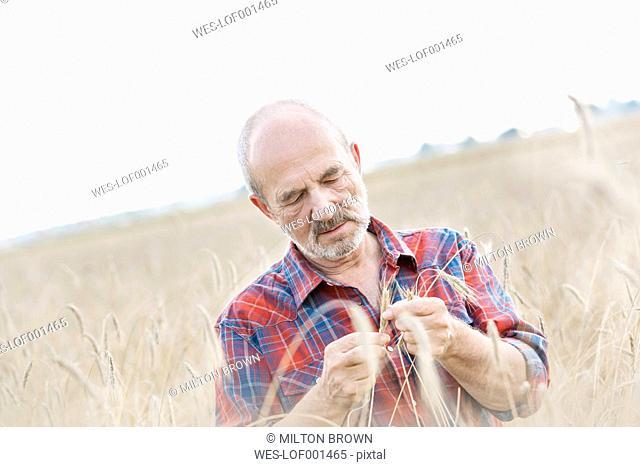Farmer examining grain in field