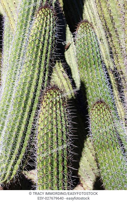 Close up of a columnar cactus with white and brown spines, in the desert in Arizona, USA