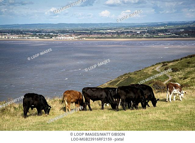 Landscape image of cows with Weston-Super-Mare in background