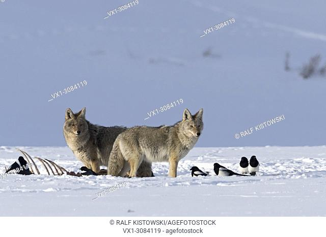 Coyotes ( Canis latrans ), in winter, snow, standing next to a carcass, together with some magpies, Yellowstone National Park, Wyoming, USA