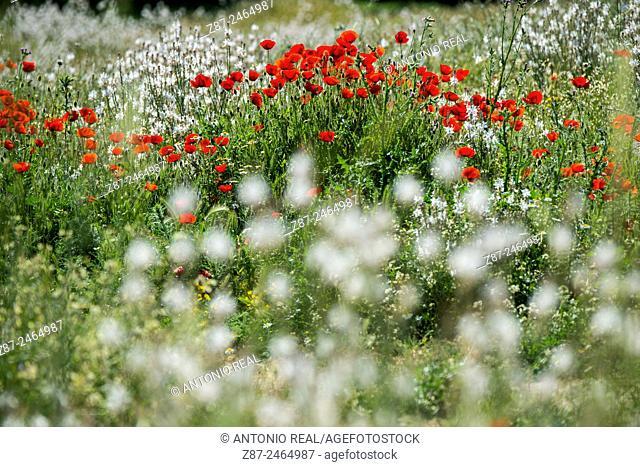 Poppies (Papaver rhoeas), Almansa, Albacete province, Castilla-La Mancha, Spain