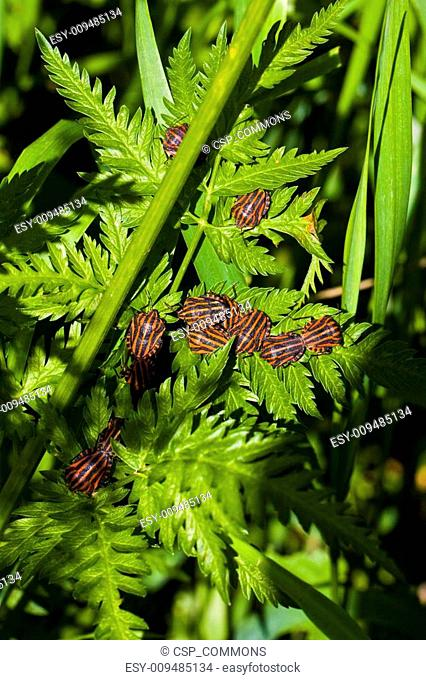 graphosoma lineatum bugs on green leaf
