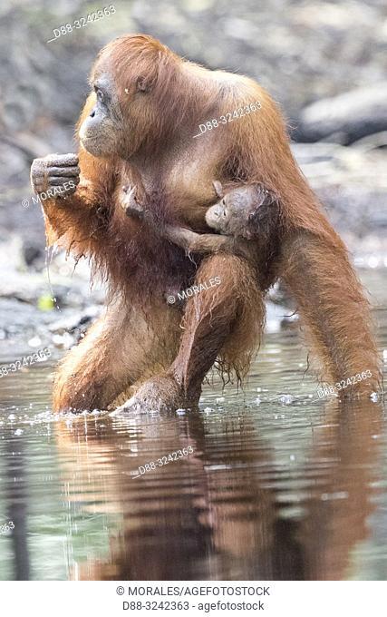 Asia, Indonesia, Borneo, Tanjung Puting National Park, Bornean orangutan (Pongo pygmaeus pygmaeus), adult male near by the water of Sekonyer river