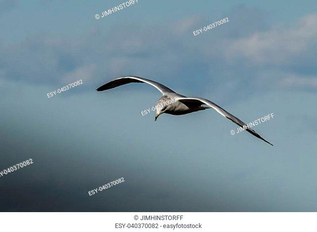 A ring-billed gull stands out against gray clouds as it flies over the Bay of Green Bay in north eastern Wisconsin