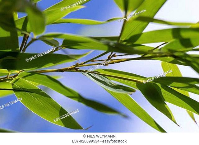 Nahaufnahme von Bambus Zierbambus vor blauem himmel mit weißen Wolken