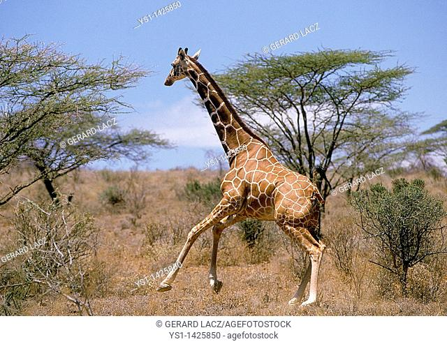 RETICULATED GIRAFFE giraffa camelopardalis reticulata, ADULT RUNNING THROUGH SAVANNAH, SAMBURU PARK IN KENYA