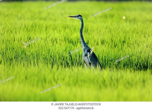 Grey heron, Ardea cinerea. Albufera de Valencia NP, Comunidad Valenciana. Spain