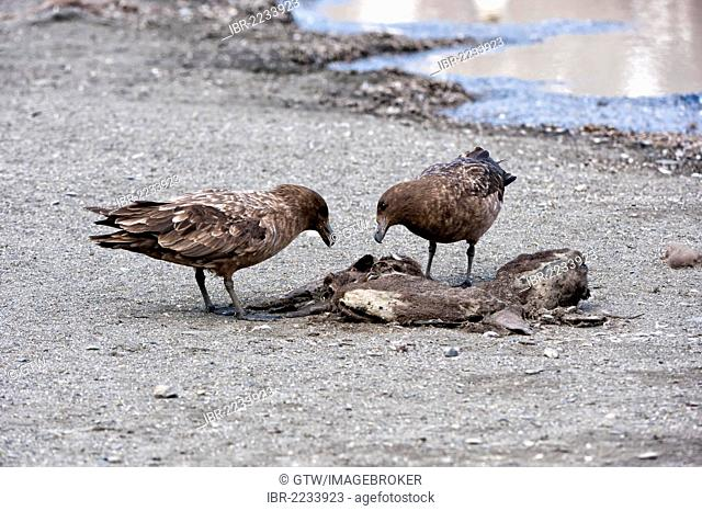 Brown Skuas (Stercorarius antarcticus) feeding on a carcass, St Andrews Bay, South Georgia Island