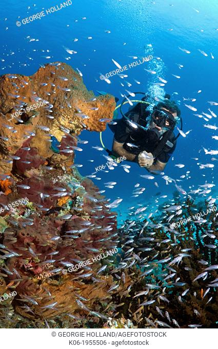 Male scuba diver watching a school of sweepers and cardinalfish on coral reef. Komodo National Park, Indonesia