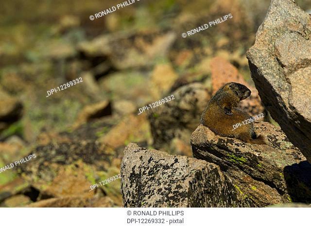Yellow-bellied Marmot (Marmota flaviventris), Rocky Mountain National Park; Colorado, United States of America