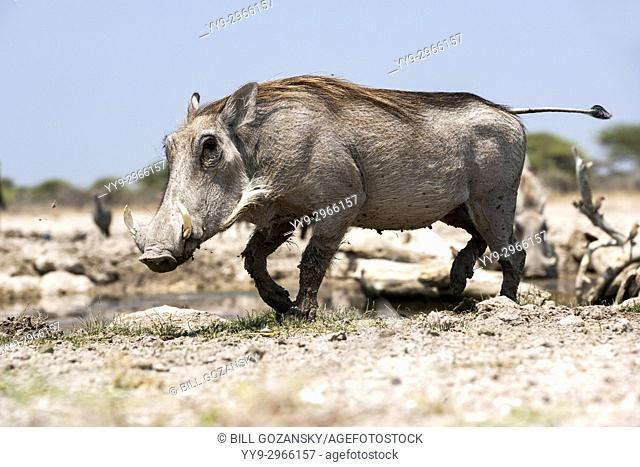 Common warthog (Phacochoerus africanus) - Onkolo Hide, Onguma Game Reserve, Namibia, Africa