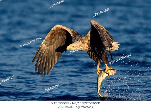 White-tailed Sea Eagle (Haliaeetus albicilla) catching fish. Norway