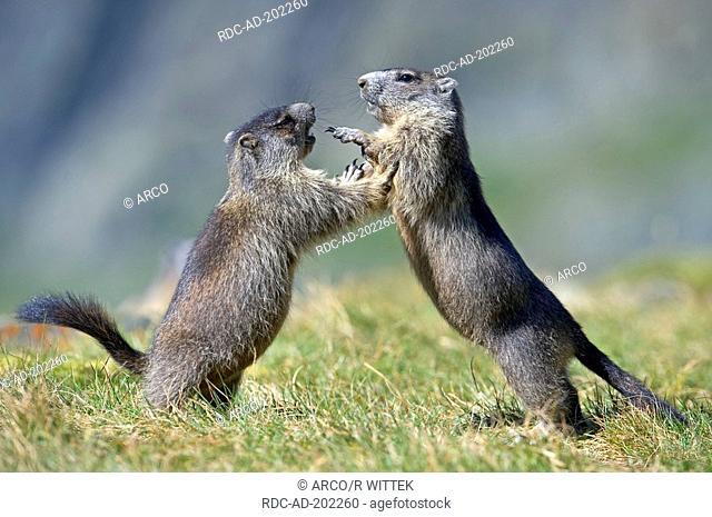 Alpine Marmots, young, national park Hohe Tauern, Austria, Marmota marmota