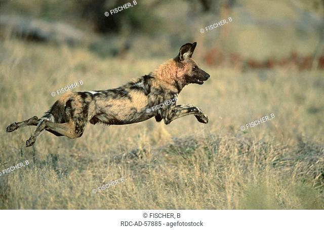 African Hunting Dog Moremi Game Reserve Botswana Lycaon pictus