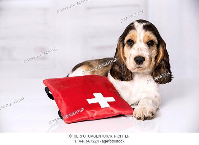 English Cocker Spaniel Puppy with ambulance bag