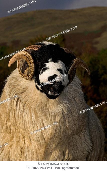 Rough Fell rams ready for autumn sales Sedbergh Cumbria. (Photo by: Wayne Hutchinson/Farm Images/UIG)