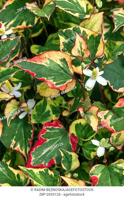 Houttuynia cordata perennial flowers for shady parts of a garden known as lizard tail, chameleon plant, heartleaf, fishwort