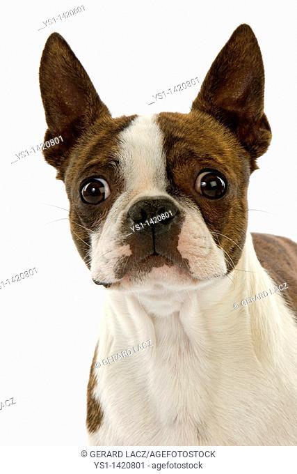 BOSTON TERRIER DOG, PORTRAIT OF ADULT AGAINST WHITE BACKGROUND