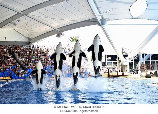 Orcas (Orcinus orca) jumping out of the water, Orca show, Loro Parque, Puerto de la Cruz, Tenerife, Canary Islands, Spain