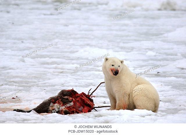 Manitoba, Hudson bay, unique photos of male polar bear feeding on a caribou carcass