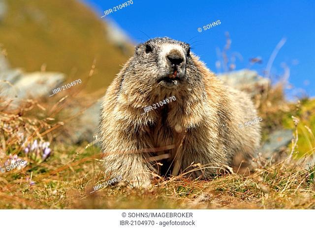 Alpine Marmot (Marmota marmota), adult, Grossglockner massif, Hohe Tauern National Park, Austria, Alps, Europe