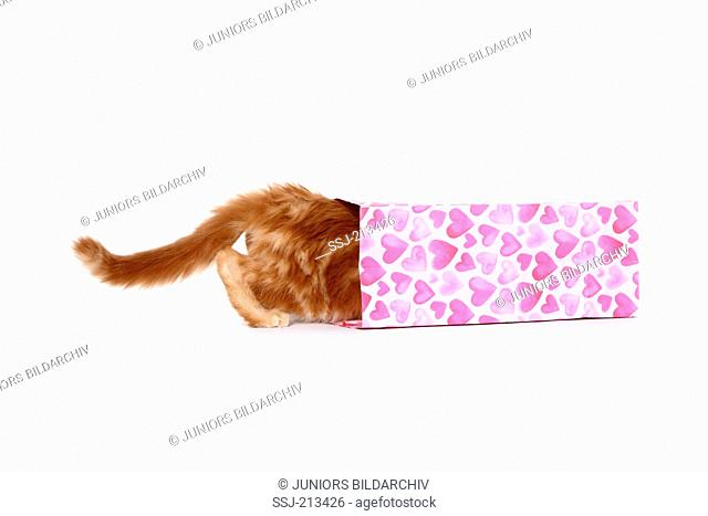 American Longhair, Maine Coon. Kitten walking into a pink bag with heart print. Studio picture against a blue background. Germany