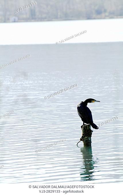 cormorant,fisherman bird,phalacrocorax,lake banyoles,girona,catalonia,spain,