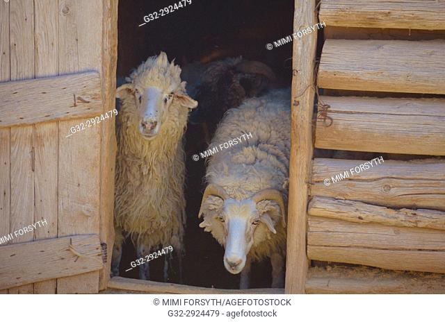 Navajo-Churro sheep waiting to be shorn, New Mexico