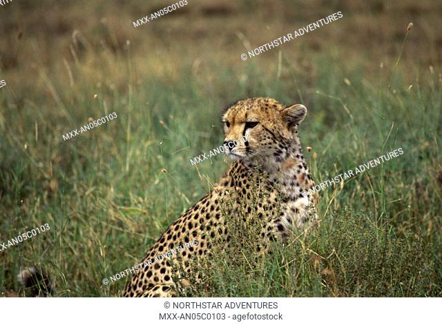 Cheetah, Serengeti Plains, Tanzania