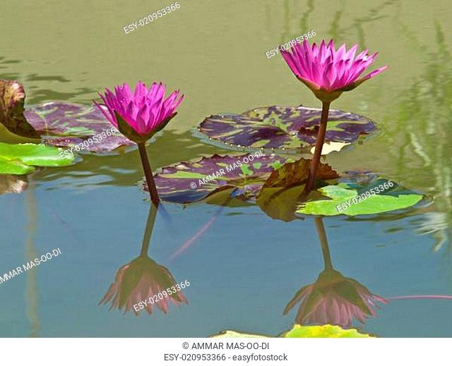 A pair of pink water lilly in a pond
