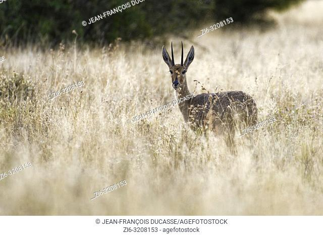 Steenbok (Raphicerus campestris), adult male, standing in the high dry grass, alert, Mountain Zebra National Park, Eastern Cape, South Africa, Africa