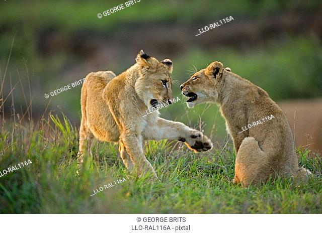 Two Lion cubs Panthera leo playing, Timbavati Game Reserve, Mpumalanga Province, South Africa