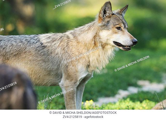 Close-up of an Eastern wolf (Canis lupus lycaon) standing on a meadow, Germany, Europe