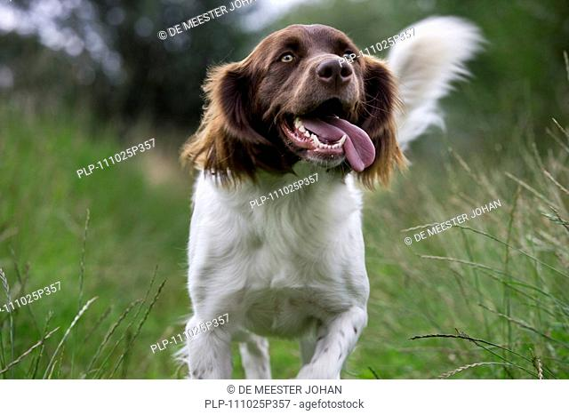 Drentsche Patrijshond / Dutch Partridge Dog / Drent spaniel type hunting dog in field, the Netherlands
