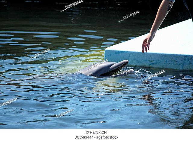 a dolphin is swimming in a basin of a biological research station - therapy with dolphins - a girl is trying to touch a dolphin
